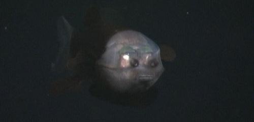 Macropinna microstoma, wonderful fish with transparent head