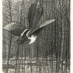 Magpie. Etching graphics by Russian artist Stanislav Nikireev