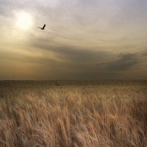 Windy evening. A bird flying over the field. Photographer Nikolay Titov