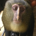 New species of owl faced monkey discovered