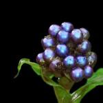 Marble glittering berry Pollia condensata