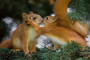 Squirrels start mating when they are a year old