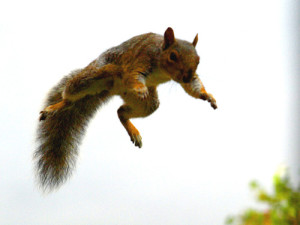 The flying squirrel does not literally fly, but due to its skin flaps that join the front and hind legs, it can glide from one tree to another.