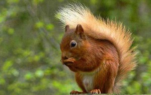 The red squirrel is smaller than the eastern gray squirrel. A red squirrel is a common sight in Eurasia.