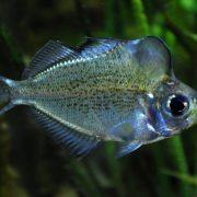 Transparent fish Parambassis pulcinella