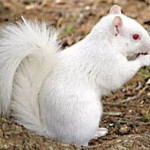 White squirrels are rare and are mostly found in South East Asia and Thailand