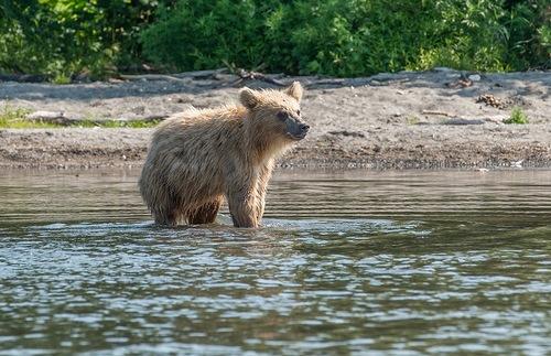 bears on Kurilsky lake
