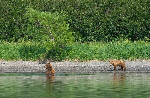 bear cubs to catch fish