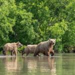 Teaching bear cubs to catch fish