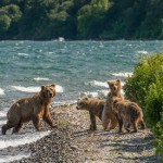While catching fish, mother bear gives a lesson to her cubs