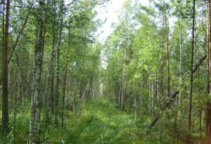 Forest at The Great Vasyugan Mire