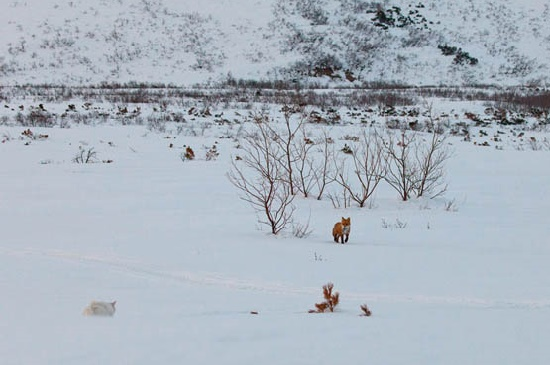 A fox coming out of forest to play with a cat. Kronotsky Nature Reserve, Kamchatka peninsula, Russia
