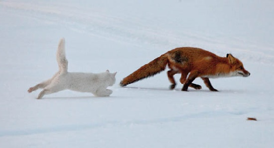 And it's turn to chase the fox. Fearless cat Syoma running after the fox. Kronotsky Nature Reserve, Kamchatka peninsula, Russia