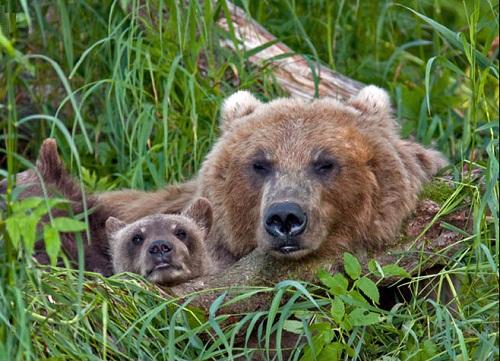 Resting in the grass family of bears. Kamchatka region, Russia. Photographer Sergei Krasnoshchekov