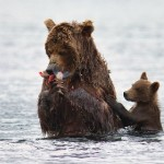 A little bear asking his mum for some more fish. Brown bear teaching her cubs to fish