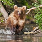 In and out of water. Brown bear with bloody lips. Kamchatka region, Russia. Photographer Sergei Krasnoshchekov
