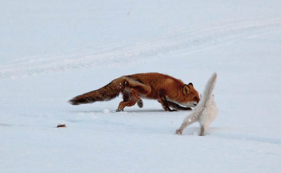 Communication of the cat and the fox is quite friendly. Seems like they both enjoy each other company. Kronotsky Nature Reserve, Kamchatka peninsula, Russia