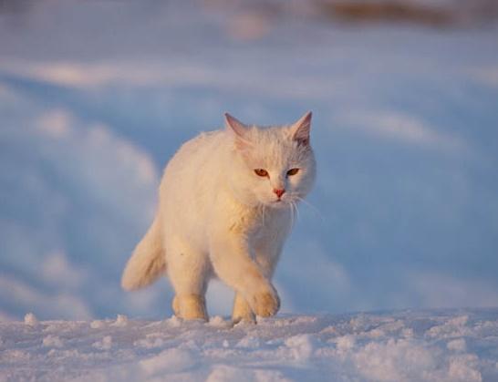 Kronotsky Nature Reserve, Kamchatka peninsula, Russia. Fearless cat Syoma and a fox