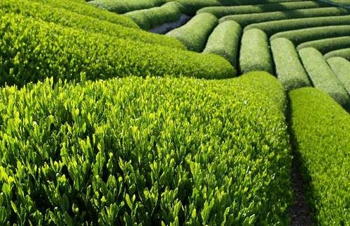 Field of Green Tea