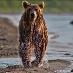 The lake full of salmon is a real paradise for bears. Kamchatka region, Russia. Photographer Sergei Krasnoshchekov