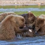 Eating together – Mother bear and cubs. Kamchatka region, Russia. Photographer Sergei Krasnoshchekov