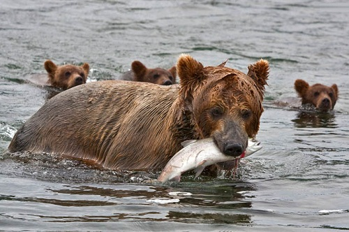 Brown bear teaching her cubs to fish