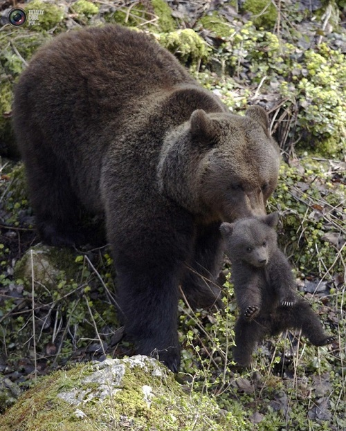 That's what happens with cub, when he annoys mum. Mother bear with her child
