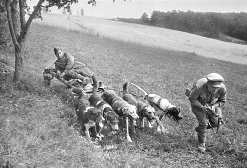 Removal of the wounded from the battlefield, 1944. Dogs took from fighting more than 2 million people during the Second World War