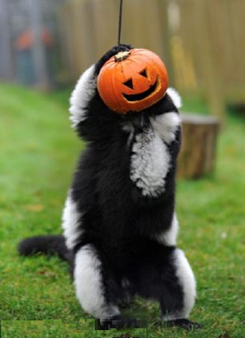 Ring-tailed and red fronted lemurs were also seen sticking their heads into pumpkins
