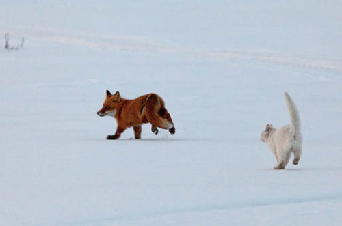 To run is a good idea on a frosty winter day. Fearless white cat Syoma and a red fox. Kronotsky Nature Reserve, Kamchatka peninsula, Russia