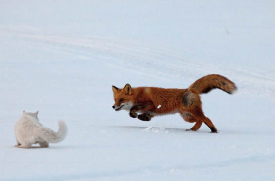 The game has begun. Syoma, the cat and a fox. Kronotsky Nature Reserve, Kamchatka peninsula, Russia