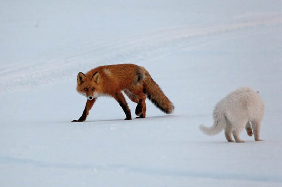 Trying to look scary cat Syoma, and a curious fox. Kronotsky Nature Reserve, Kamchatka peninsula, Russia