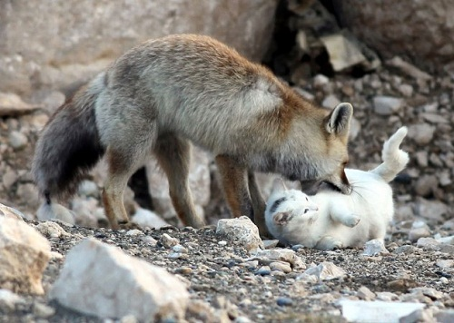 playing cat and fox