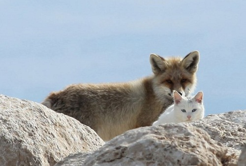 Friendship between cat and fox