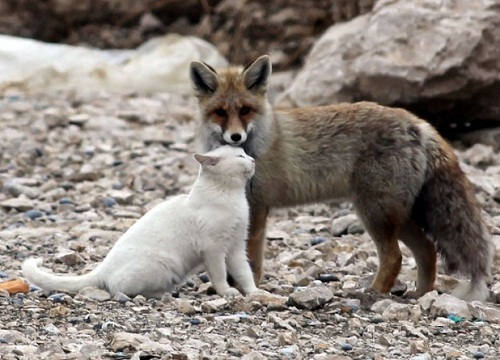 a cat and a fox - friendship