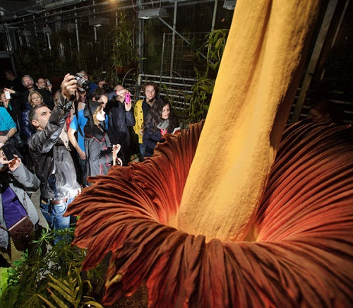 The world's largest flower has blossomed