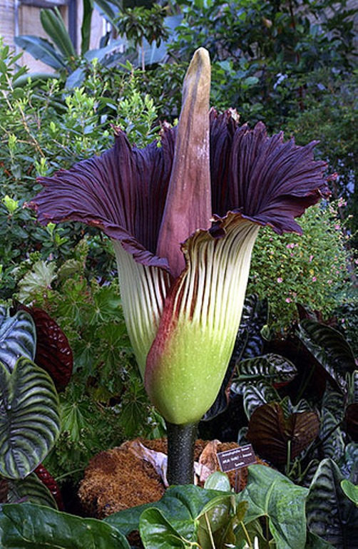 It takes the Titan Arum 7–10 years before blooming for the first time