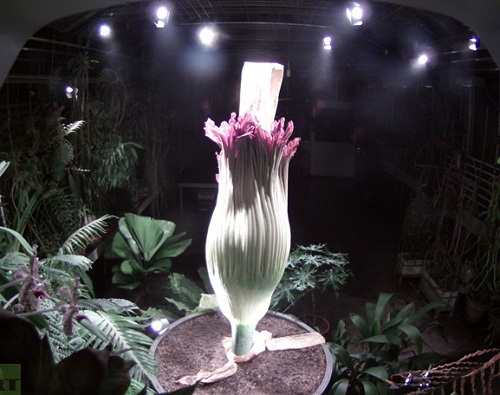 Rare and exotic Titan Arum – the largest flower has blossomed