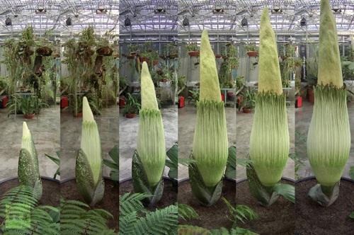 Botanic Garden in Basel, Switzerland. Titan Arum – the largest flower in the world