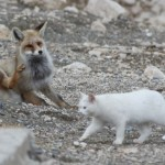 Friendship between a cat and a fox