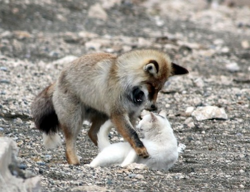 Friendship between a cat and a fox