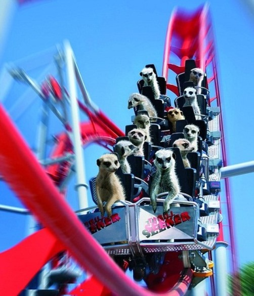 A trip to a theme park where a mob of meerkats are photographed hanging on to an aptly-named rollercoaster