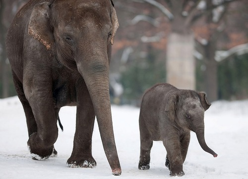 A young elephant and an adult one walk through the snow on December 13, 2012 at the zoo in Berlin