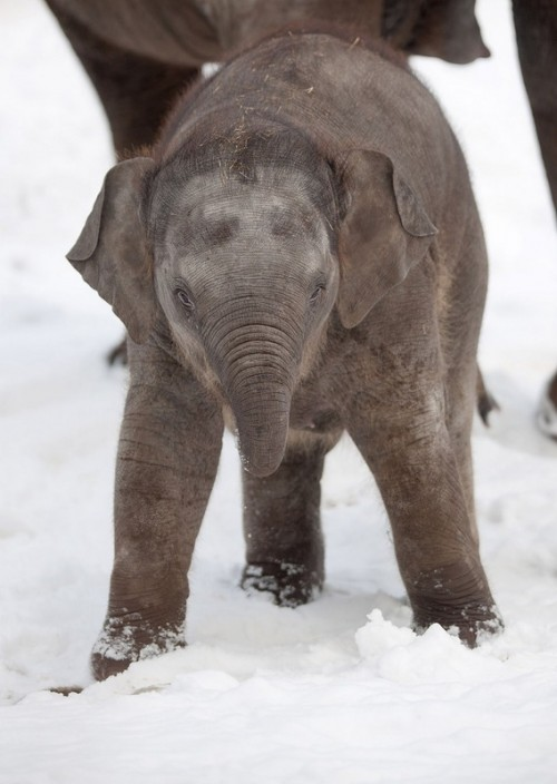 Baby elephant enjoying the snow