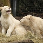 The beauty of White lions