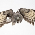 Phantom of the north Great Grey Owls