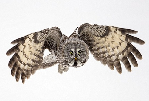 Phantom of the north - Great Grey Owls. Photo by British Wildlife photographer Jules Cox