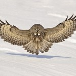 "Called ""Phantom of the north"" – Great Grey Owl. Photo by British Wildlife photographer Jules Cox"