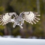 Hunting Great Grey Owl. Photo by British Wildlife photographer Jules Cox
