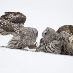 A couple of Great Grey Owls. Photo by British Wildlife photographer Jules Cox